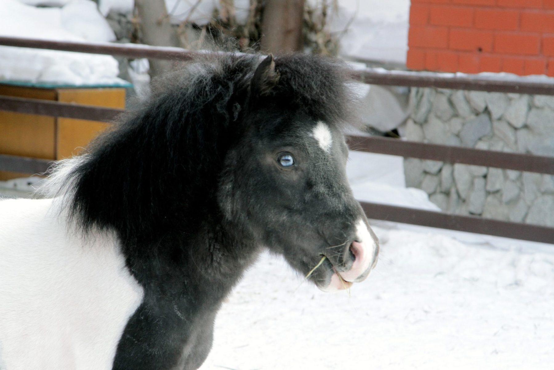 «Уральские авиалинии» доставили жеребенка Яшу в Красноярск